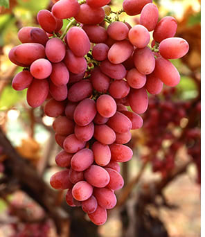 Grape seed extract Ekstrakt z pestek winogron