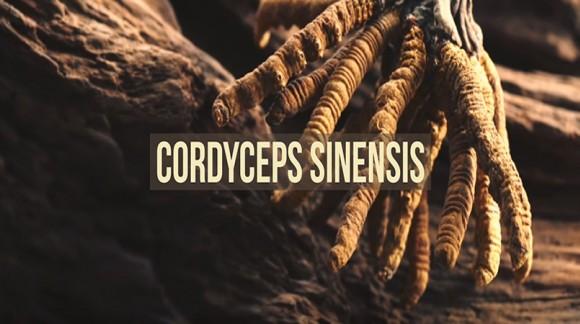 Cordyceps sinensis - historia, działanie prozdrowotne i wpływa na wydolność u sportowców